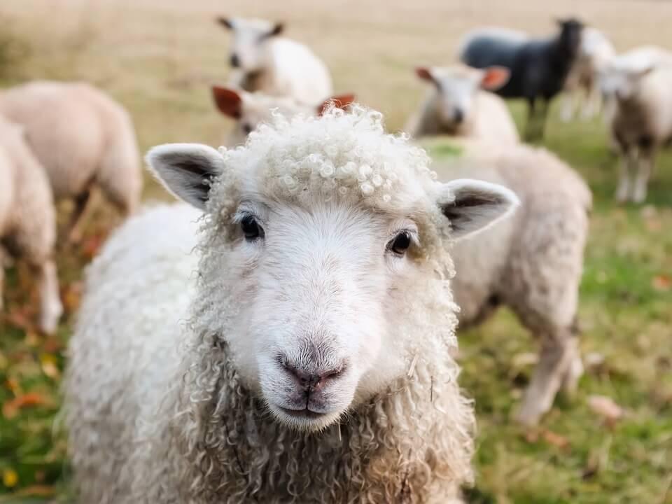На фото изображены овцы на пасбищи.